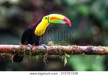 Keel-billed Toucan - Ramphastos Sulfuratus, Large Colorful Toucan From Costa Rica Forest With Very C