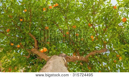 Fruit Tree Background. Tangerine Tree Background. Green Leaves And Ripe Fruits On The Tree. Harvesti