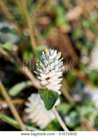 Amaranthus Flower Macro For Detail