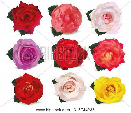 Collection Roses On White Background. Roses Red, Beige, Purple, Pink, White, Coral, Yellow, Orange-y