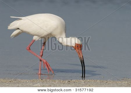 A White Ibis searching for food along the shoreline poster