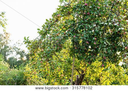 Old Apple Tree With Ripe Apples In Rural Garden At Summer Sunset