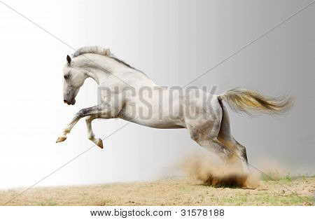 silver-white stallion in a dust on gray background poster