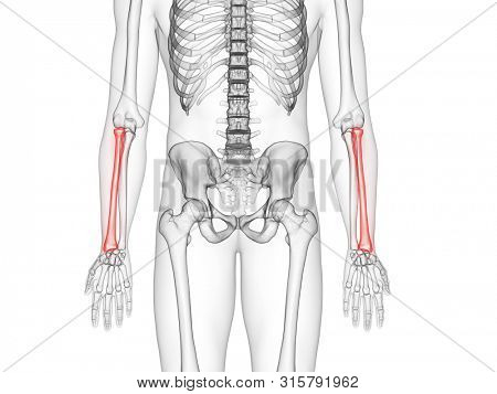 3d rendered medically accurate illustration of the radius bone