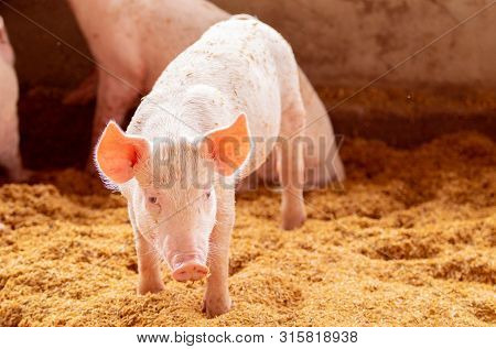 Pig Standing On The Golden Husk Looking At The Camera, Organic Pig Farm