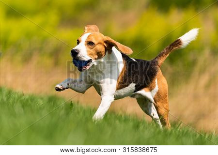 Beagle dog runs through green meadow with a ball. Dog fetching blue ball. poster