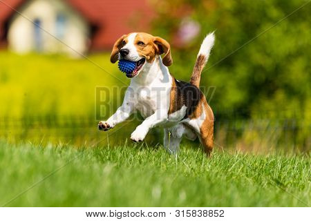 Beagle dog runs through green meadow with a ball. Copy space domestic dog concept. Dog fetching blue ball. poster
