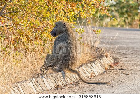 A Chacma Baboon, Papio Ursinus, Sitting On A Street Curb
