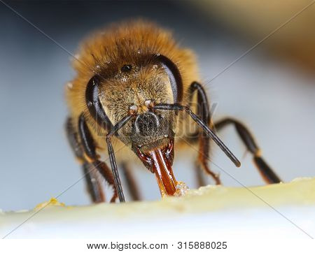 Comon Honeybee Feeding Front View Macro Close-up