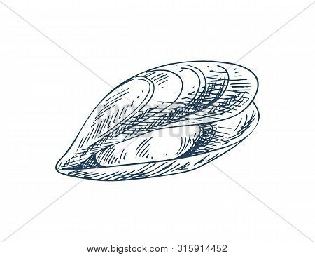 Mylitus Saltwater Mussel, Marine Bivalve Mollusc. Common Nutrition Product And Mariculture Specie Il