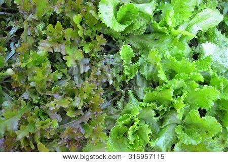 Green Oak And Rea Oak Lettuce Vegetable Salad Background Texture