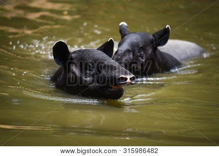 Tapir Swimming On The Water In The Wildlife Sanctuary / Tapirus Terrestris Or Malayan Tapirus Indicu