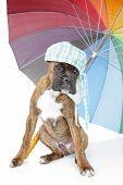 Germany Boxer puppy with colorful umbrella on a white background poster