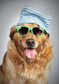 Golden Retriever dog in cap and sunglasses. poster