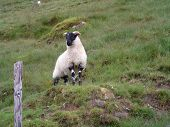 lone sheep on hillside in county mayo, ireland. poster