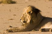 Black-maned lion in Kgalagadi Transfrontier Park South Africa poster