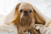 Griffon Bruxellois dog breeds after bathing wrapped in a towel. poster