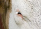Close up of a domestic bulls eye poster