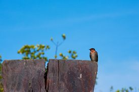 A Swallow Bird On Blue Sky Background.