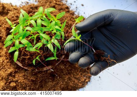 Transplanting Seedlings. Transplanting Young Pepper Seedlings For Further Growth.
