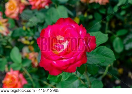 Bicolor Hybrid Tea Rose Bolchoi Or Meizuzes Or Madam Speaker. Bright Juicy Magenta-white Flower On A