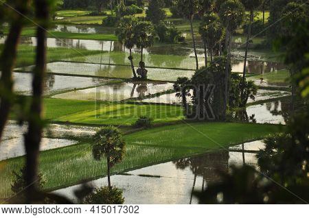 View Of Tropical Water Plantations With Lush Green Vegetation, Cambodia. Rural Oriental Plantations
