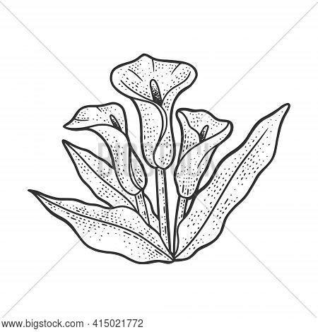Arum Flower Plant Sketch Engraving Vector Illustration. T-shirt Apparel Print Design. Scratch Board