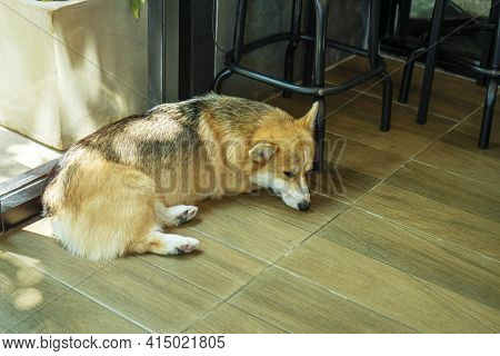 Adorable Brown Corgi Dog Sleep On Wood Floor Beside Chair While Waiting Owner At Home. Corgi Canine