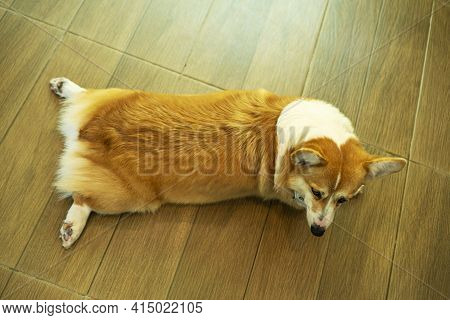 Adorable Welsh Corgi Pembroke Dog Lying Down On The Wood Floor. Fluffy Cute Welsh Corgi Lazy Outstre