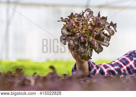 Hands Of Young Farmer Woman Holding Fresh Lettuce Organic Vegetable At Greenhouse Hydroponic Organic