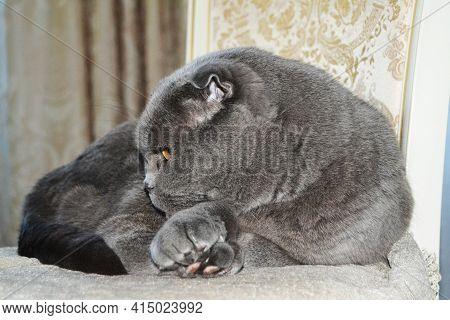 A Beautiful British Cat With Beautiful Eyes Lies Chair. British Short Hair Cat Blue