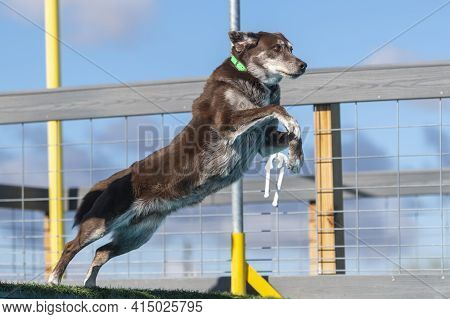 Dock Diving Labrador Jumping Off The Dock Into A Pool