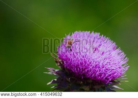 Honey Bee Collecting Nectar And Pollen From A Blossoming Thistle Flower In Late Spring. Macro Close