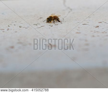 Honeybee On A White Plaster Surface With Large Negative Space. Extreme Close Up.