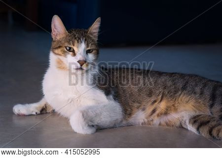 Gorgeous Tabby, Mixed Breed Young Cat Lying On The Floor. Studio Portrait.