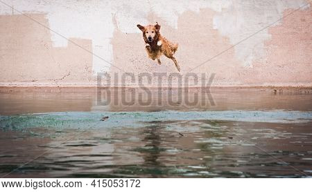 Happy Labrador Dog In Mid-air Jump Into The Water Of A Lake.