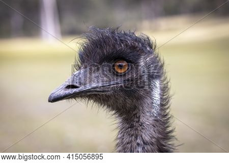 Close Up Portrait Of The Head Of An Australian Emu In An Outback Field In Regional Australia