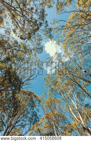 Looking Up Through A Tree Canopy Into Blue Sky In A Forest Of Gum Trees In Regional Australia