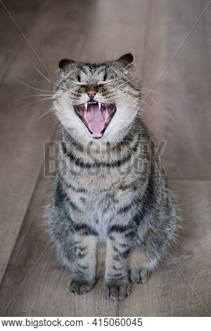 Domestic Tabby Gray Cat Yawns With Wide Open Mouth. Screaming Meow. Cat On Wooden Flor.
