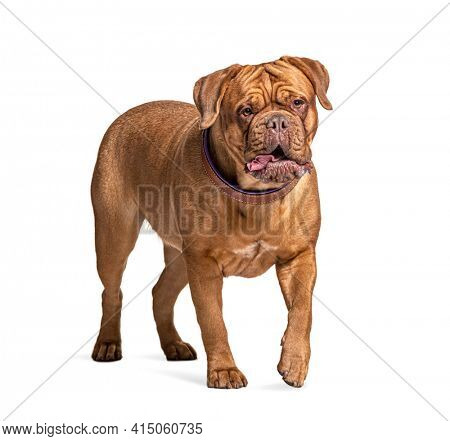 Dogue de Bordeaux walking, isolated on white