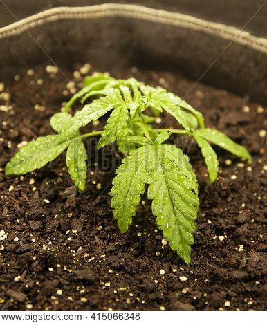 Medical And Recreational Marijuana Small Plants Grown Indoors In A Pot