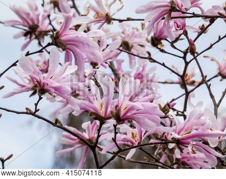 Pink Star-shaped Flowers And Buds Of Blooming Star Magnolia - Magnolia Stellata In Early Spring In B