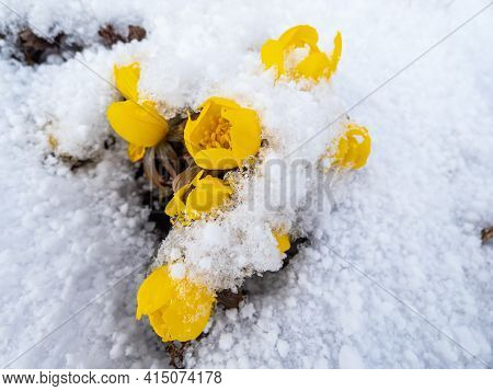 Bright Yellow Flower - Winter Aconite In Bloom In Sunlight Covered With Snow In Early Spring. The Ea