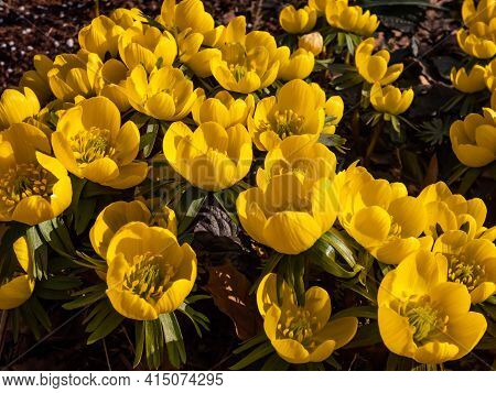 Very Early Spring Bright Yellow Flower - Cultivar Of Winter Aconite (eranthis Tubergenii