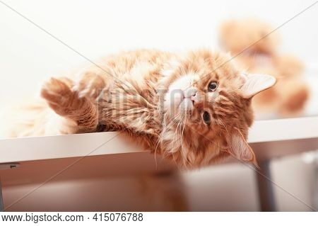 A Playful Red Maine Coon Cat Laying On A Table And Looking At The Camera. Close Up.