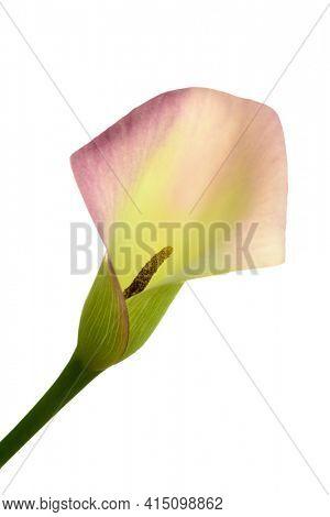 Close up image of calla flower