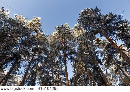 Fir Trees In Hoarfrost