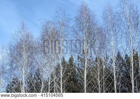 Birch And Green Spruce In Hoarfrost On A Frosty Winter Day.