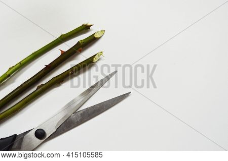 Three Rose Stem With Thorns And Scissors On A White Background With Copy Space.