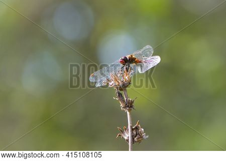 Sympetrum Flaveolum. Large Dragonfly On A Dry Plant. Beautiful Insect Sits On A Branch On A Green Bl